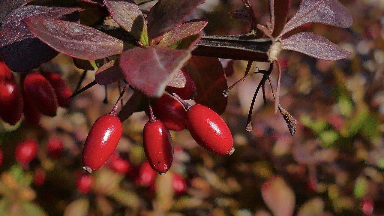 barberry-4582588_12801-1280x720.jpg